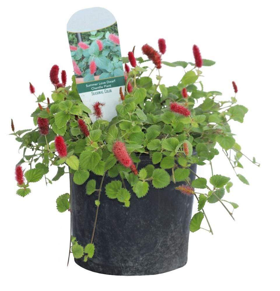 Acalypha, Chenille - Champion Landscape Supplies - ANNUALS