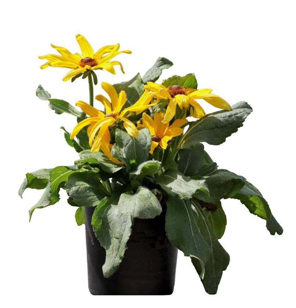 Black eyed/ Rudbeckia - Champion Landscape Supplies - PLANT