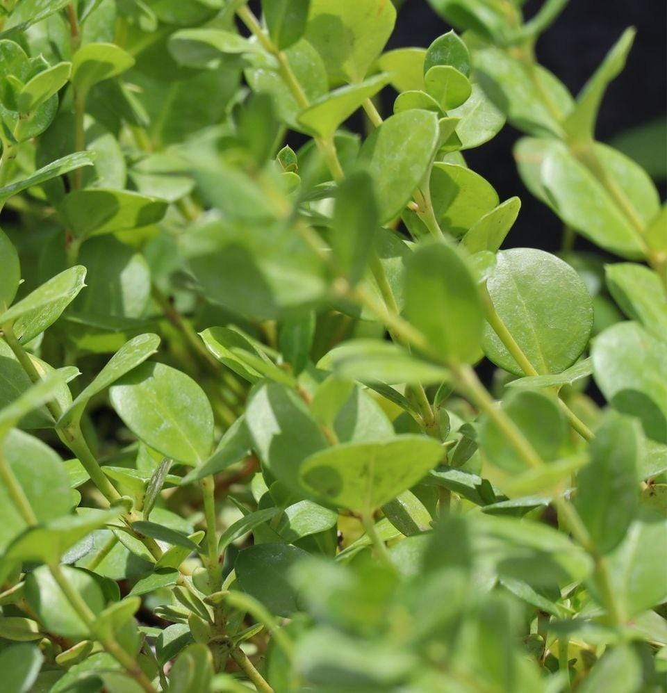 Buxus microphylla - Champion Landscape Supplies -