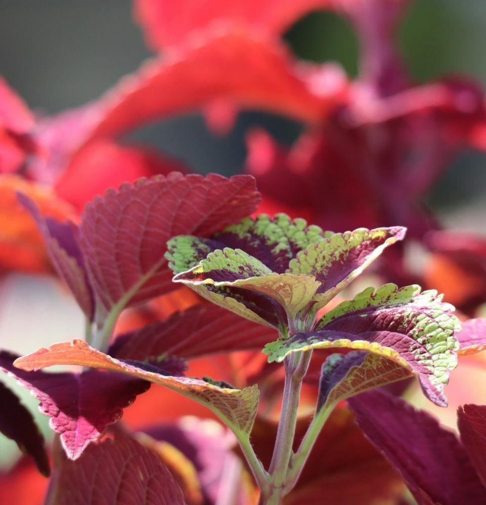 Coleus - Champion Landscape Supplies -