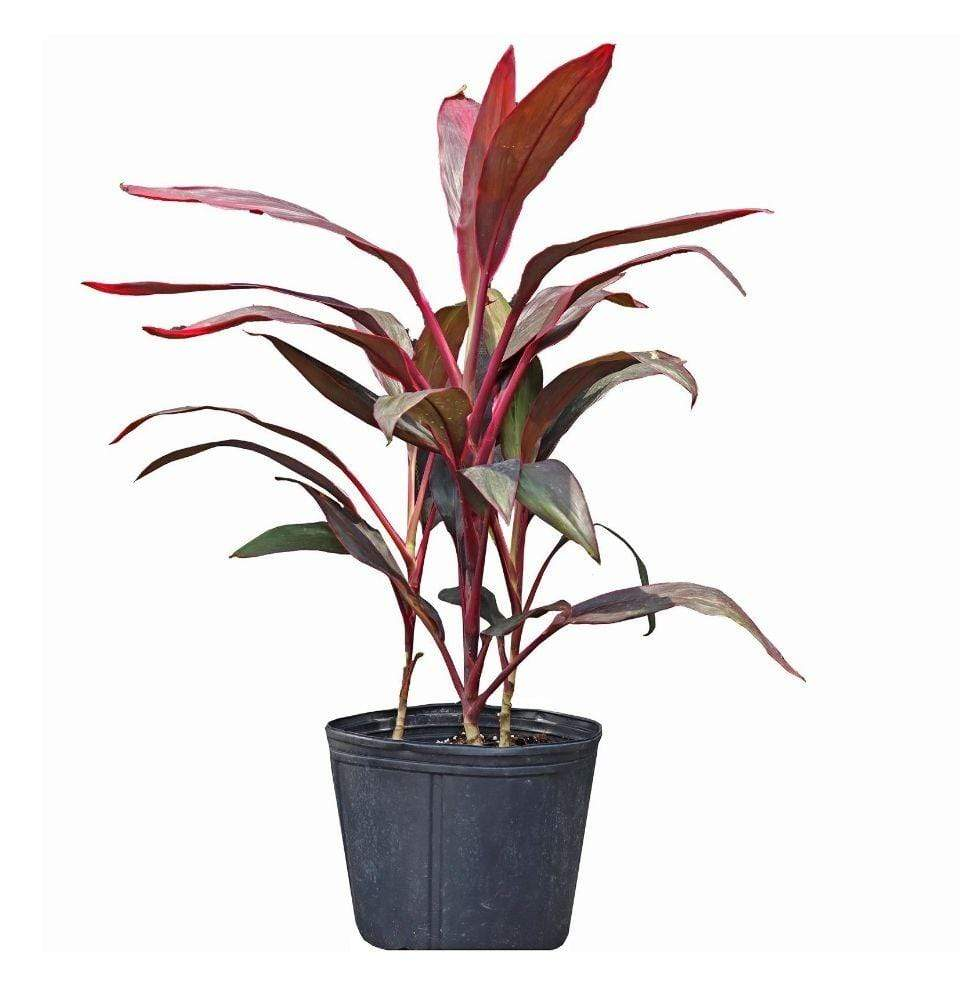 Cordyline Fruticosa - Champion Landscape Supplies - TROPICAL