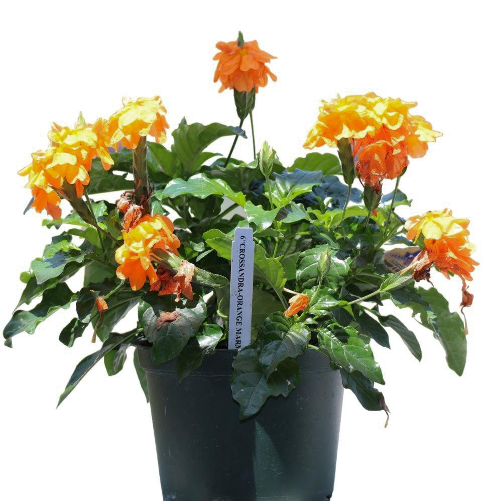 Crossandra Orange - Champion Landscape Supplies - PLANT
