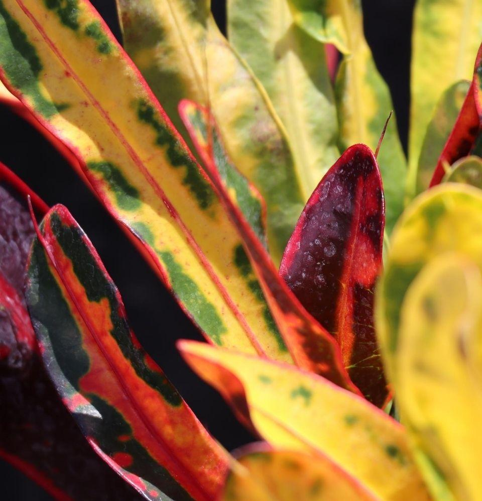 Croton  Variegatum - Champion Landscape Supplies - TROPICAL