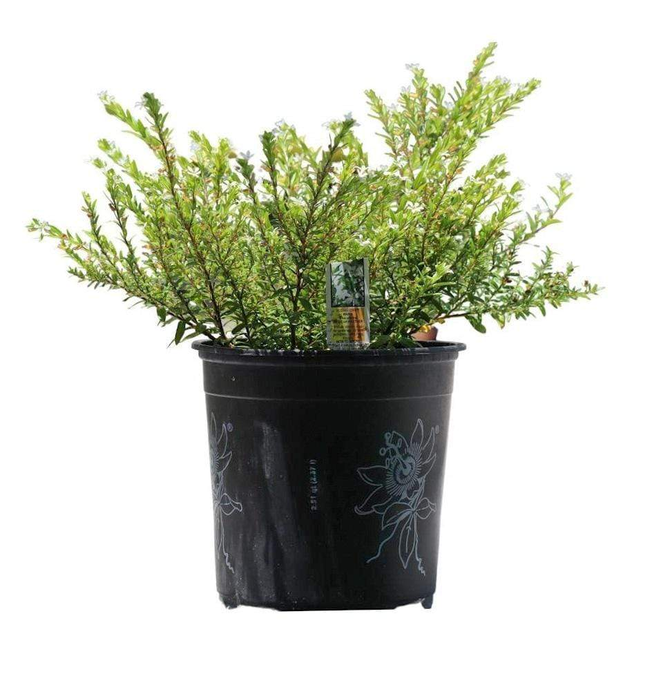Cuphea, Mexican Heather - Champion Landscape Supplies - PLANT