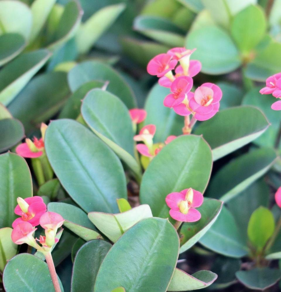Euphorbia, Crown of Thorns - Champion Landscape Supplies - PLANT