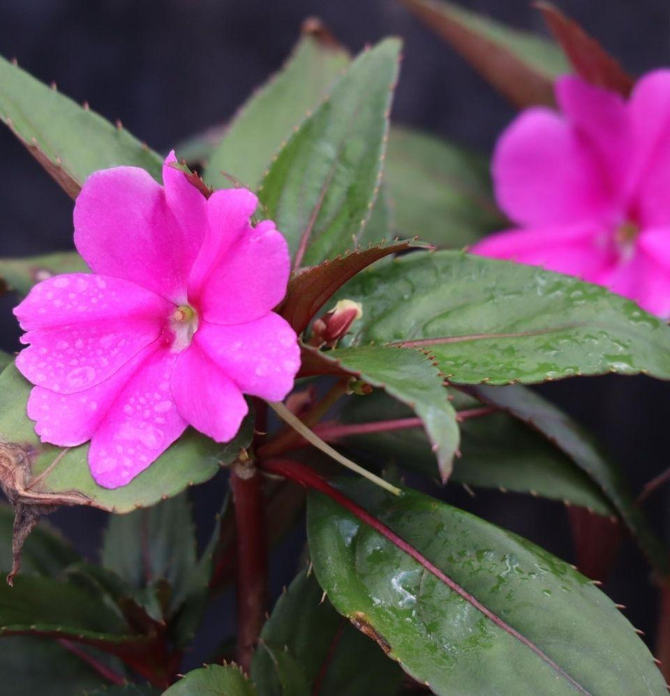 Impatiens Walleriana - Champion Landscape Supplies - ANNUALS