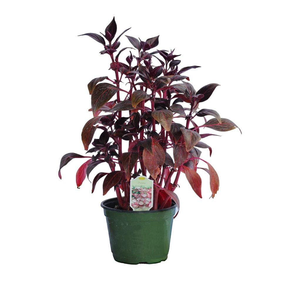 Iresine - Champion Landscape Supplies - PLANT