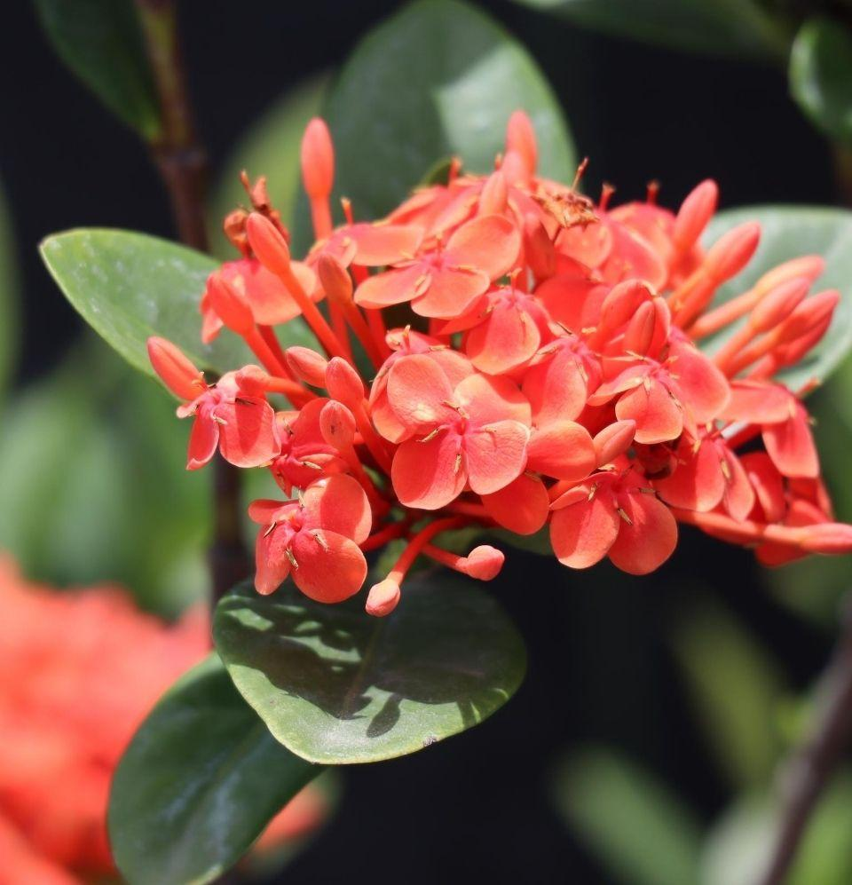 Ixora Coccinea - Champion Landscape Supplies - TROPICAL