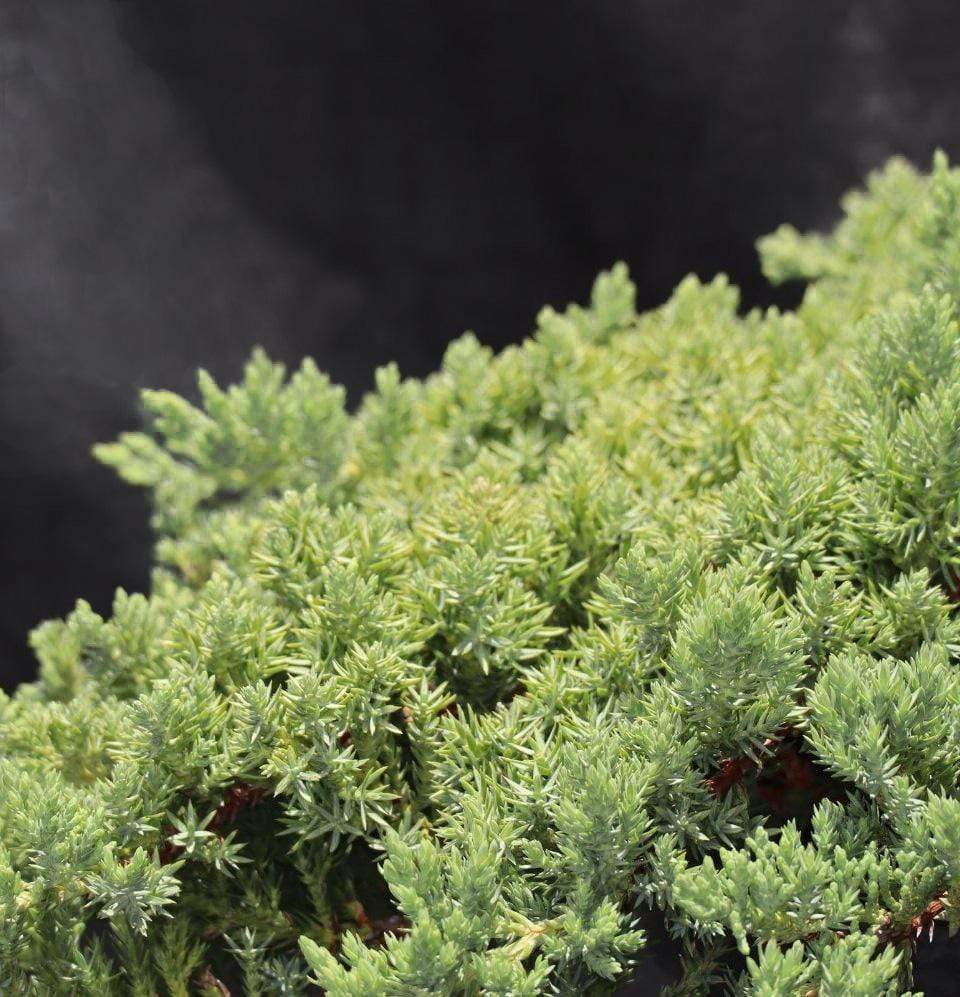 Juniperus Procumbens - Champion Landscape Supplies - SHRUBS