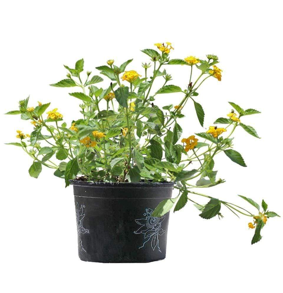 Lantana New Gold - Champion Landscape Supplies - PLANT