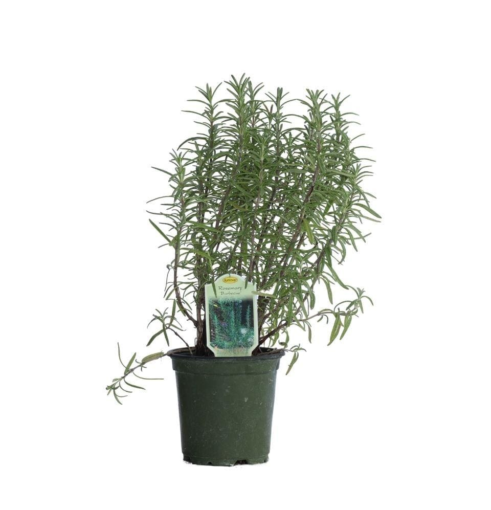 Rosemary - Champion Landscape Supplies - PERENNIAL