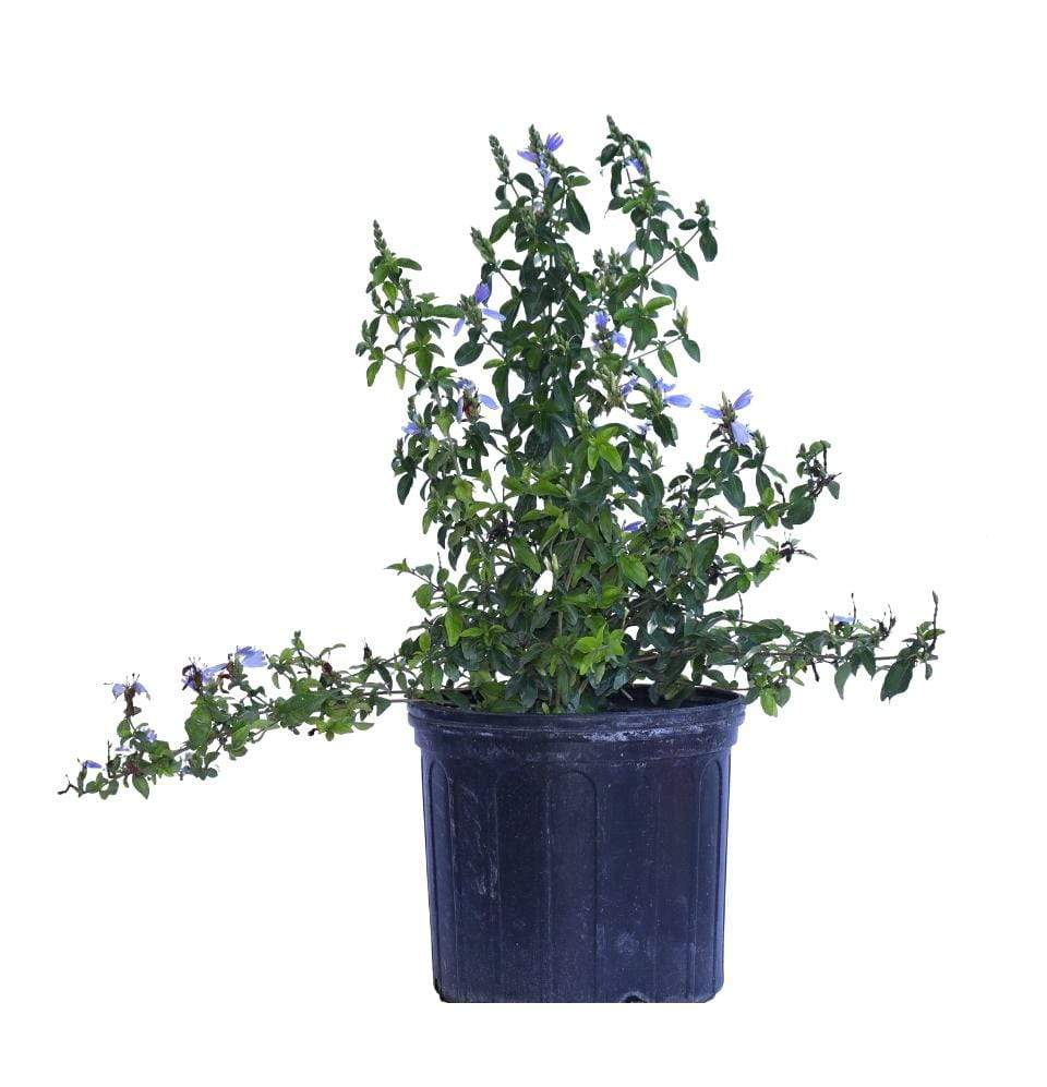 Salvia, Autumn Sage (not sure) - Champion Landscape Supplies - PLANT