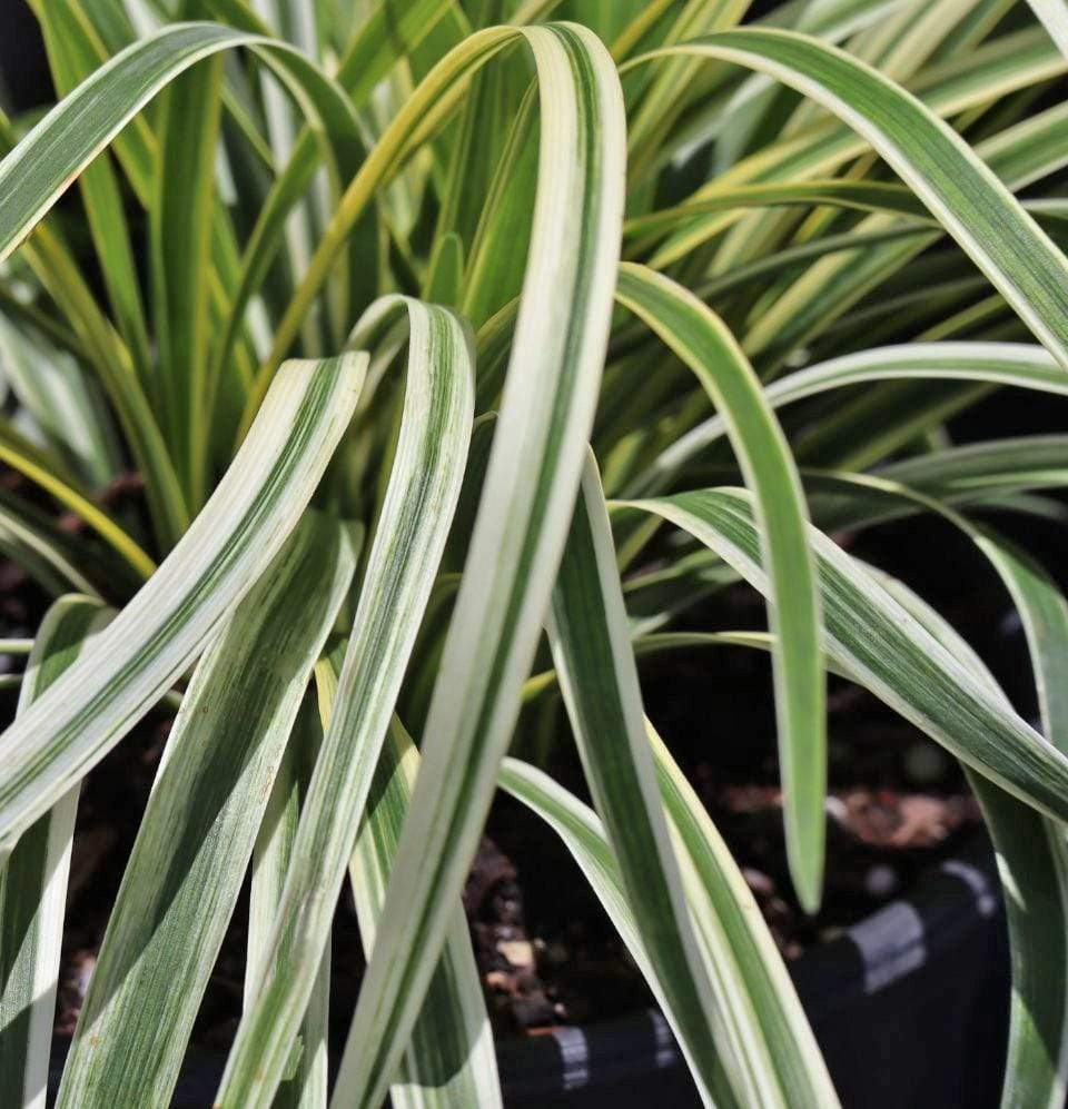 Spider Plant- Chlorophytum - Champion Landscape Supplies - ANNUALS