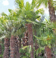 Trachycarpus, Windmill Palm-TREE-Champion Landscape Supplies