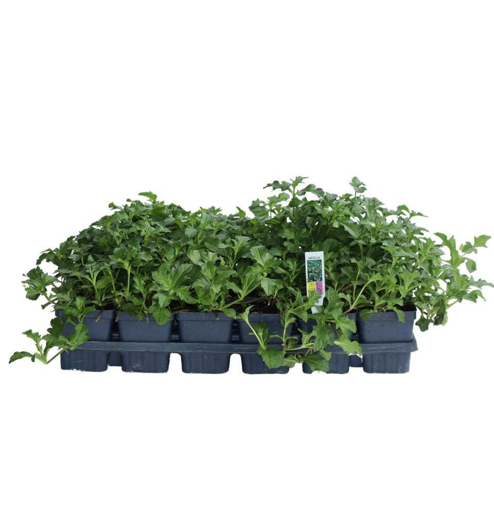 Wedelia - Champion Landscape Supplies - PLANT