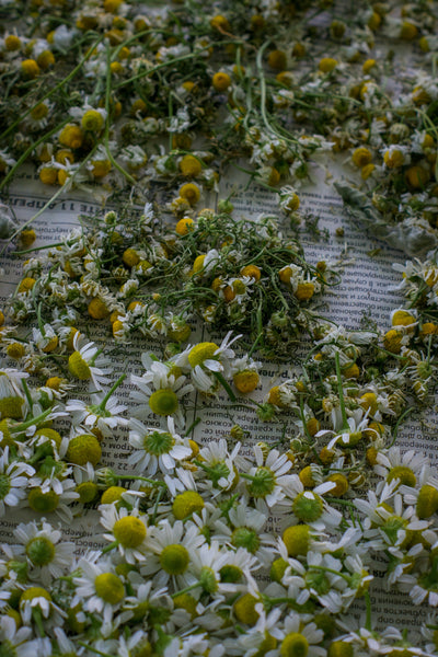 Guest Blog Post: The Magic of Chamomile by Ariel Kusby