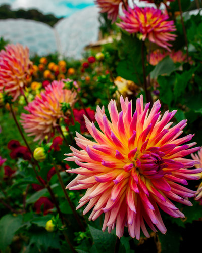 Full Bloom with Dahlia Flower Essence