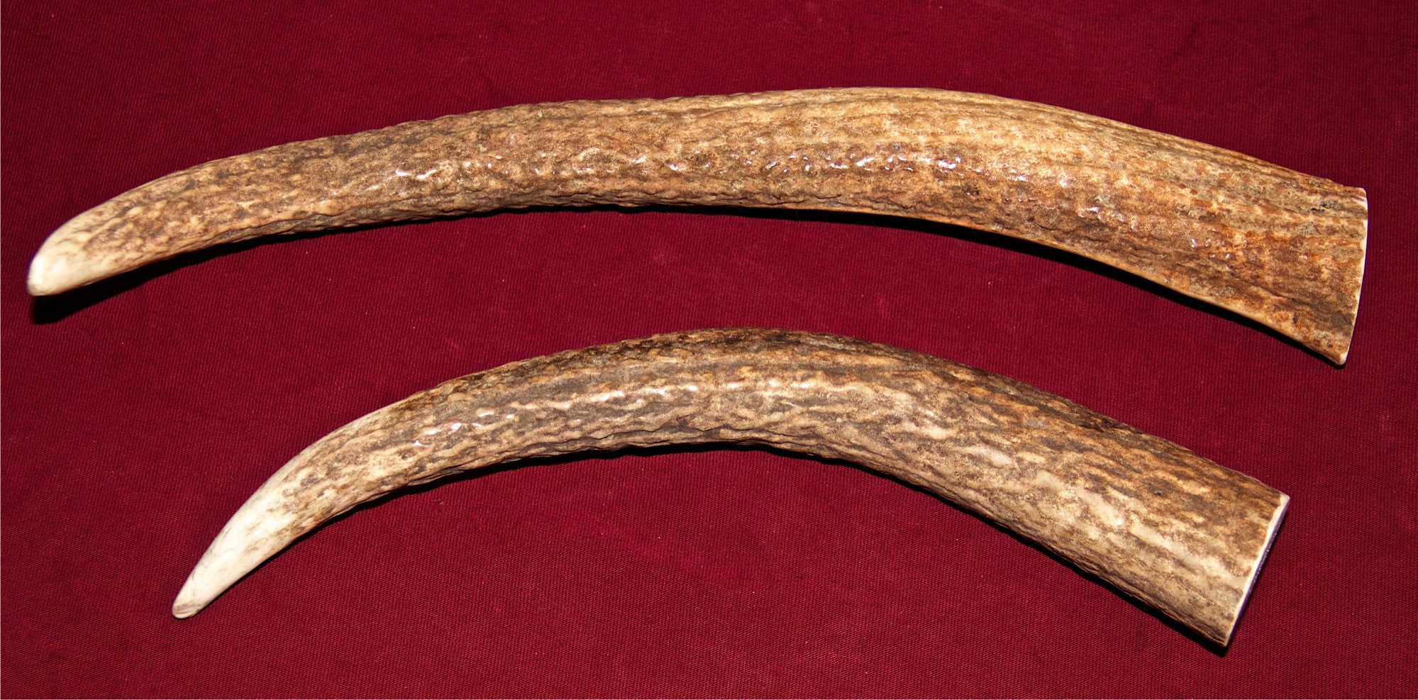 Large Elk Antler For Dogs Up To 50 Pounds