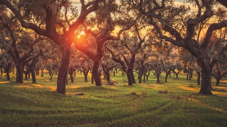 cork forest in spain at sunset