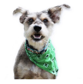 Pet Bandanas - Pawwfect.com
