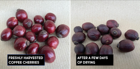 coffee cherry natural processed stage 1