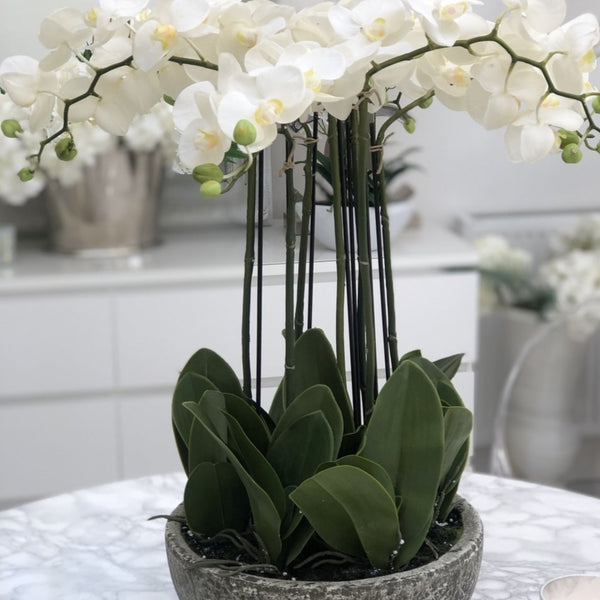 7 Stem White Orchid Phalaenopsis Plants in Stone-Look Bowl