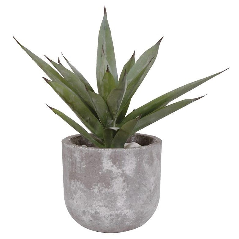 Aloe Vera Plant In Concrete Pot