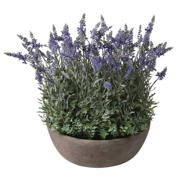 Large Lavender Plant pre-set in Round Pot
