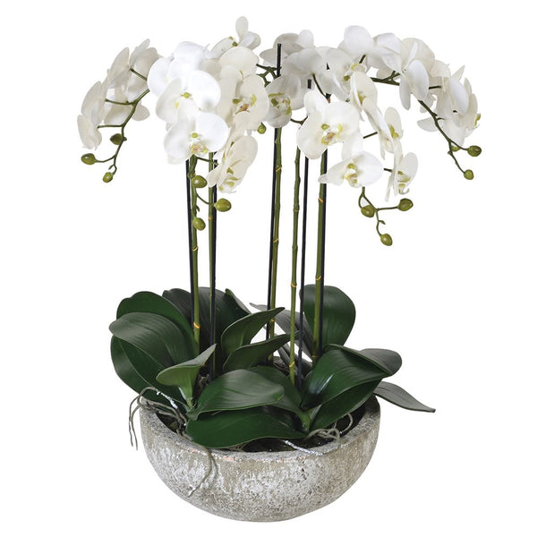 Large White Orchid Phalaenopsis Plants in Stone-Look Bowl
