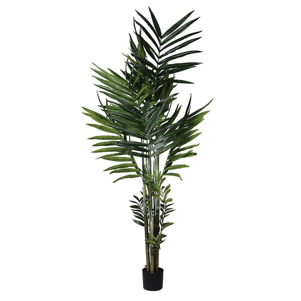 Thick Green Kentia Palm in Black Plastic Pot