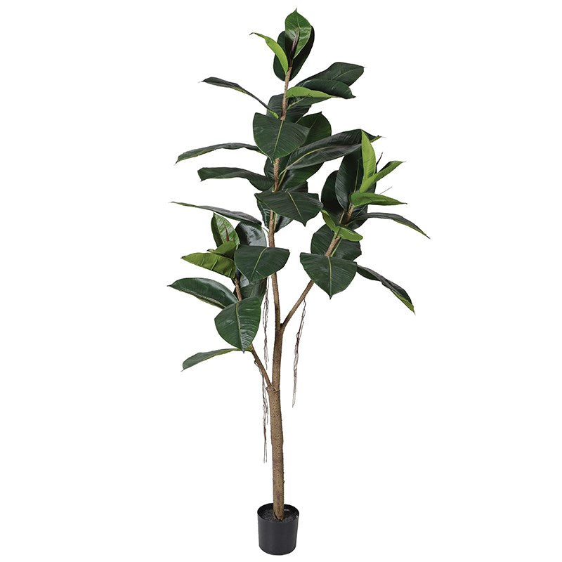 Green Rubber Tree in Black Plastic Pot