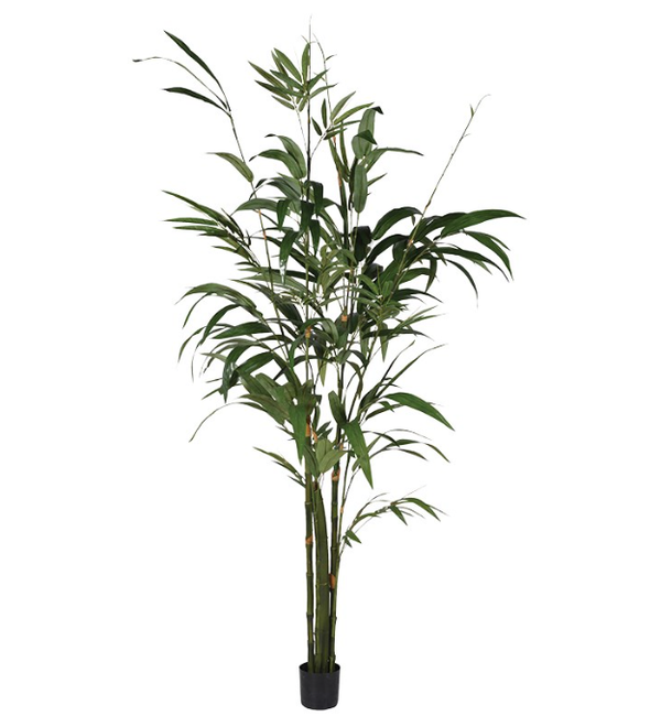 Green Bamboo Palm Tree In Small Black Pot