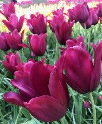Stevens-Coolidge - Ravishing Tulips