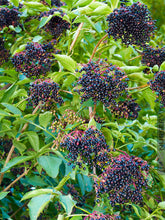 Load image into Gallery viewer, Sambucus canadensis - Elderberry