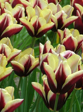 Load image into Gallery viewer, Stevens-Coolidge - Ravishing Tulips