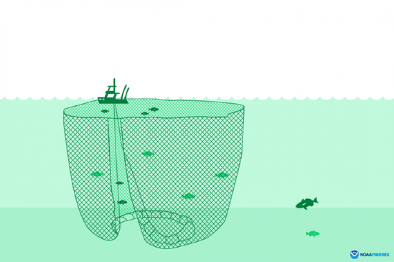 purse seine is a huge wall of netting bycatch