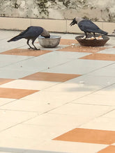 Load image into Gallery viewer, #Crows #dip #bread #crumbs in #water bowl to soften it before eating or feeding to children - even one crow is better than all politicians and generals and businessmen worldwide