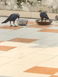 #Crows #dip #bread #crumbs in #water bowl to soften it before eating or feeding to children - even one crow is better than all politicians and generals and businessmen worldwide