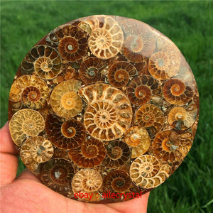 Ammonite Disc Fossil