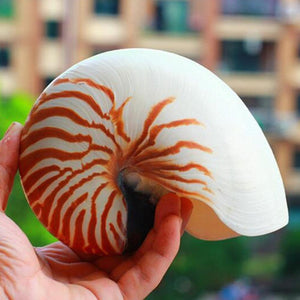 Natural Screw Conch Shells