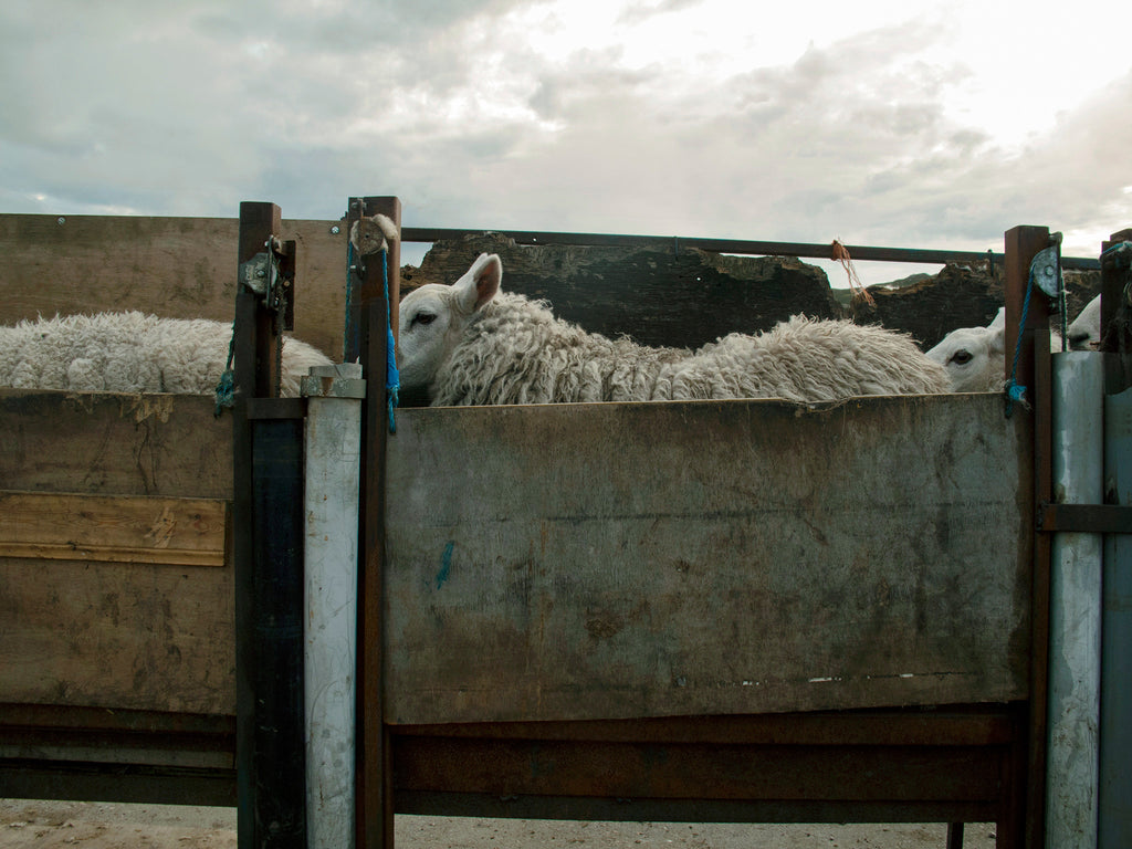 Waiting To Be Sheared, Stathanbeg, Sutherland, Scotland
