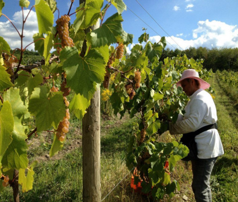Person working the wine fields at Trasiego Winery