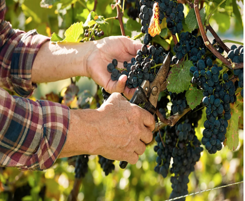 Close up of person cutting grapes off the vine at Trasiego Winery