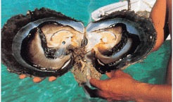 Giant oyster from Tahiti