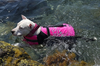 Dog Swimming with Hurtta Life Jacket for Safety