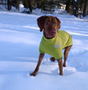Vizsla Wearing Hurtta Frost Jacket & Winter Dog Coat