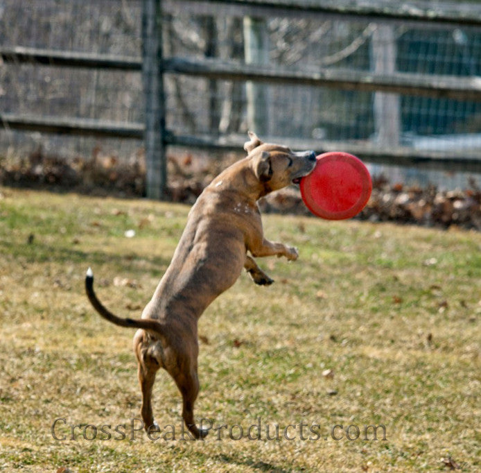 Dog Catching Kong Flyer Frisbee in Action