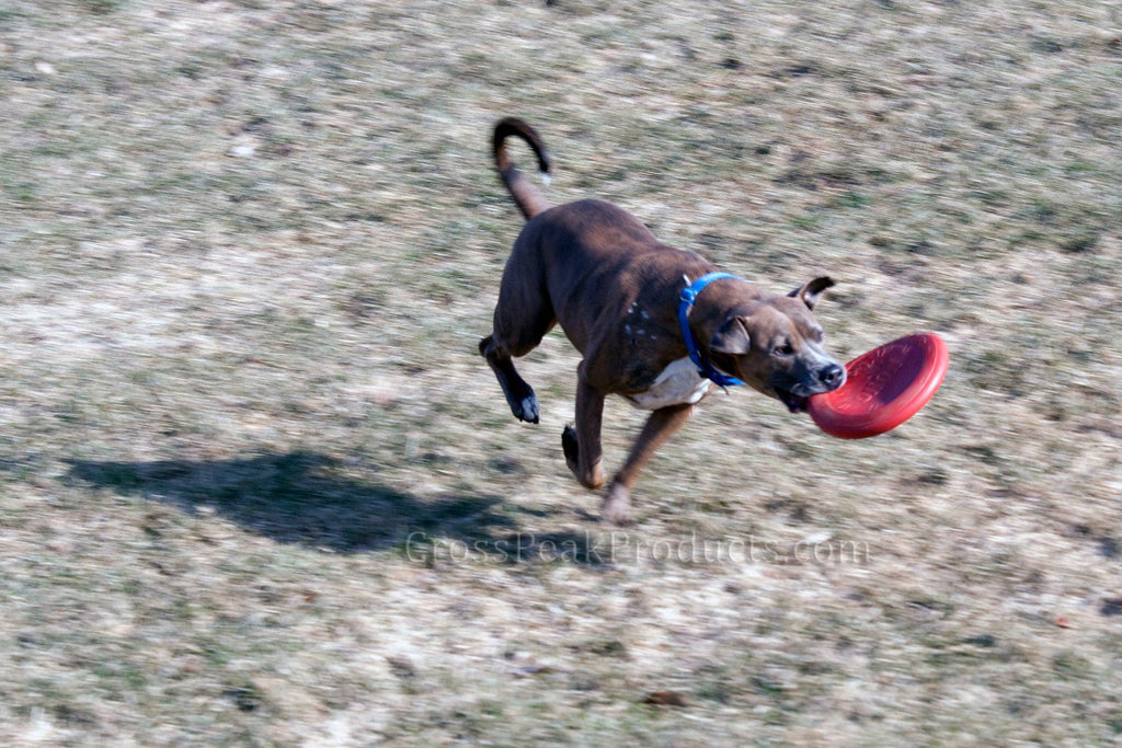 Action Shot of Dog with Kong Flyer Frisbee