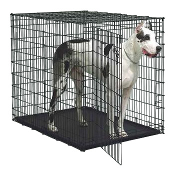 Great Dane in Midwest Solution Series Ginormus Double Door XL Dog Crate