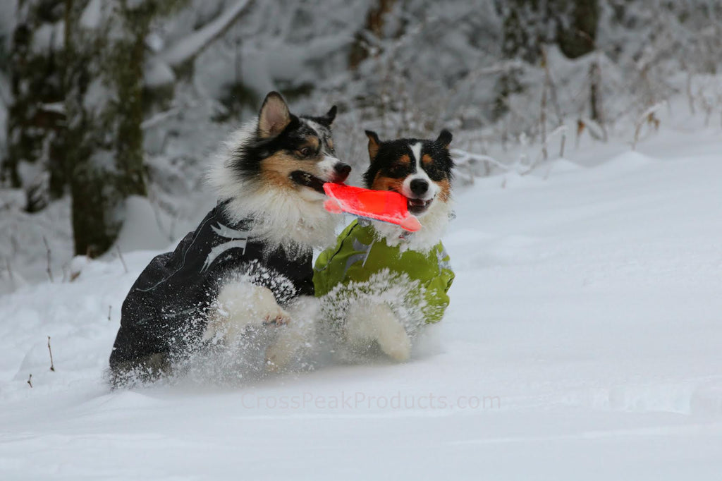 Australian Shepherds playing in snow wearing winter dog coats